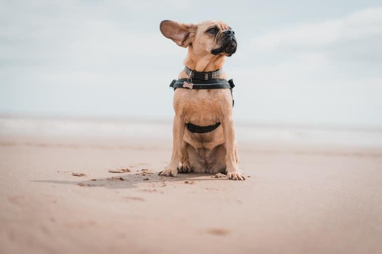 Meilleurs Anti-inflammatoires pour chien