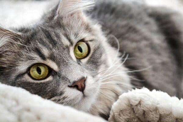 Bonnes raisons de donner du CBD à un chat âgé