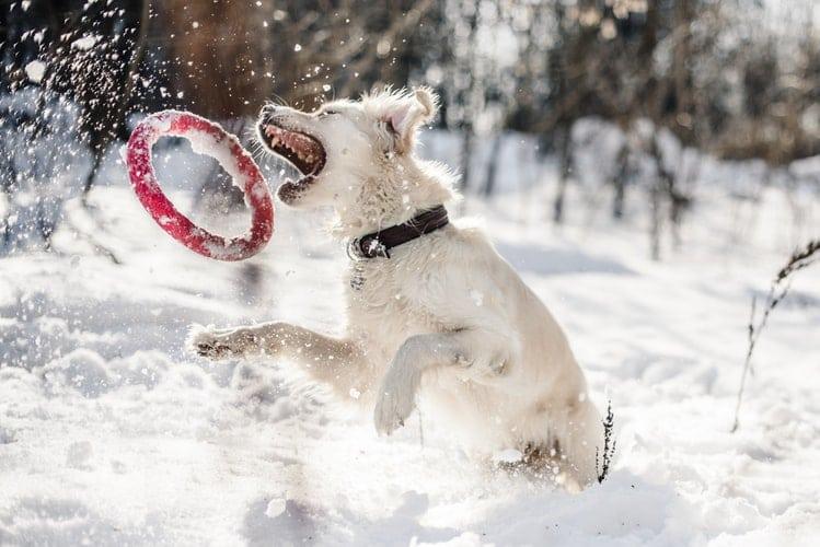 Comment et pourquoi protéger mon chien du froid en hiver