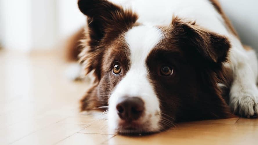 Le CBD est sans danger pour les chiens et chats au bon dosage