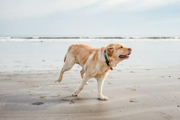 CBD et maladie auto immune chez le chien