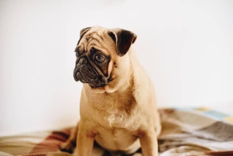 Anxiété chien et CBD : avis et expérience
