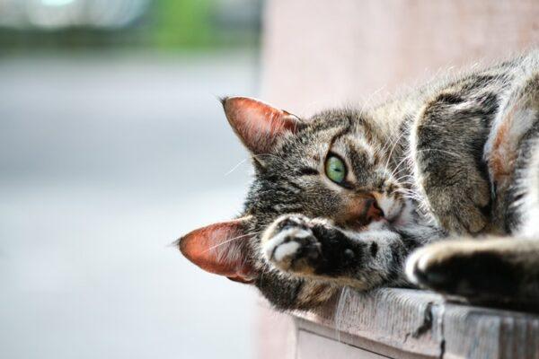 Les phéromones pour chat : La solution pour le calmer et l'apaiser ?