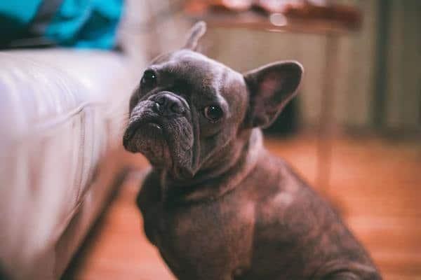 Anxiété de séparation et CBD pour chien