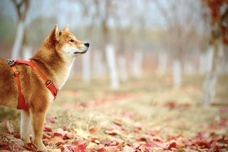 Le CBD et la douleur chez les chiens