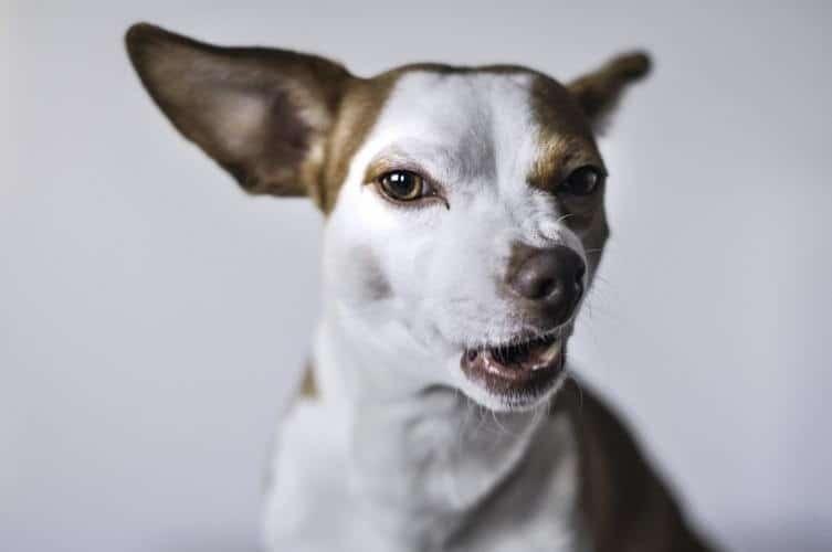 Comment le CBD peut calmer un chien agressif