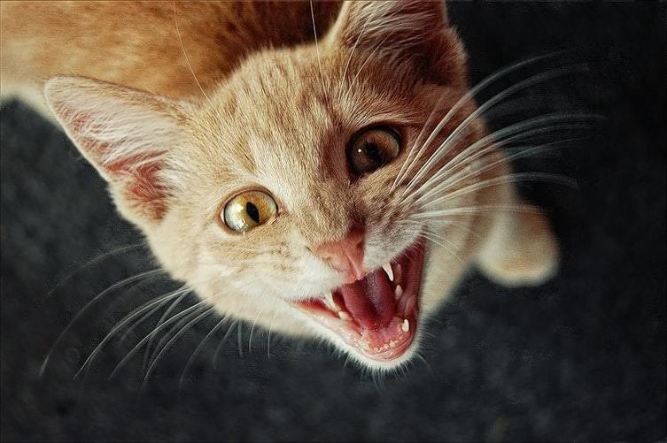 Pourquoi mon chat miaule