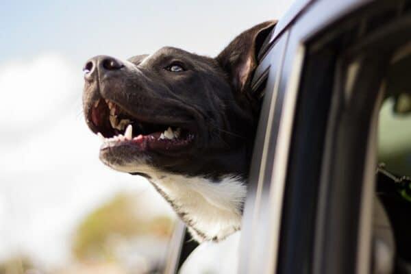 CBD et mal des transports chez les chiens