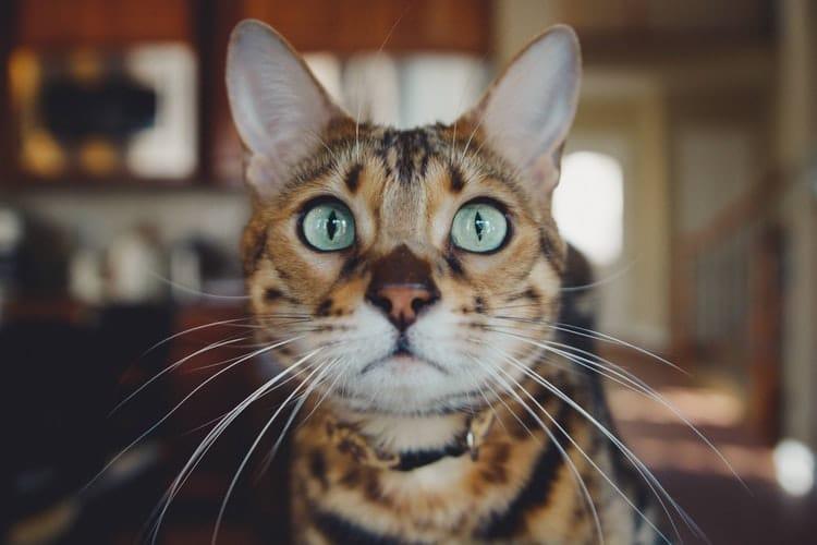 Epilepsie chez le chat : comment le gérer ?