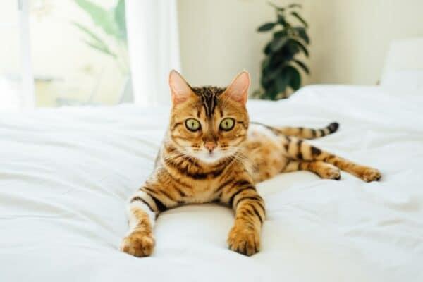 Quel est le meilleur calmant pour chat
