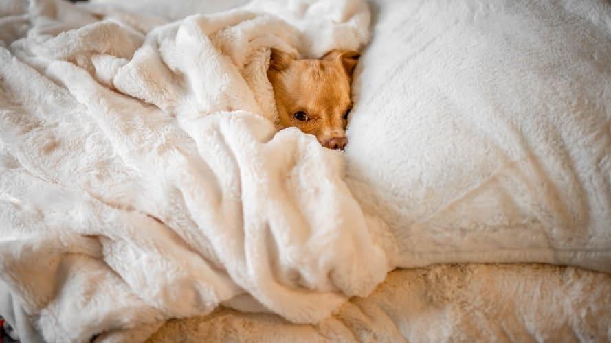 CBD pour chien et sommeil