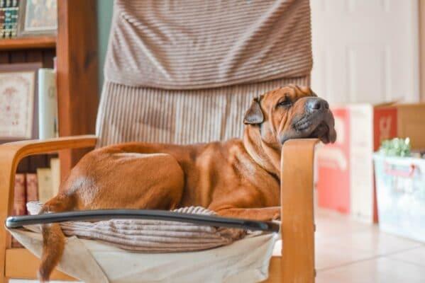 Meilleur somnifère pour chien