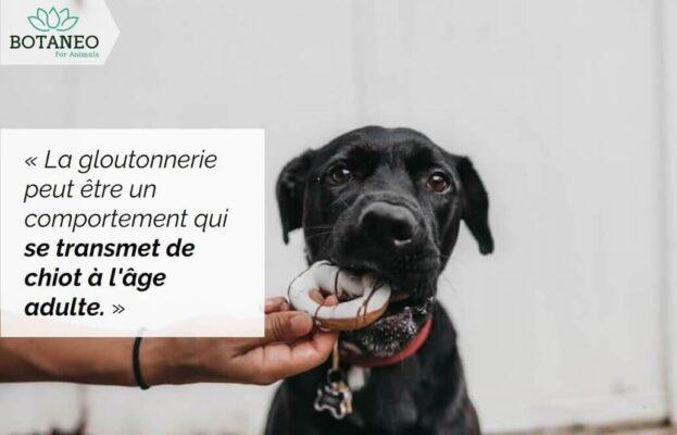 Chien et gloutonnerie - CBD pour chien