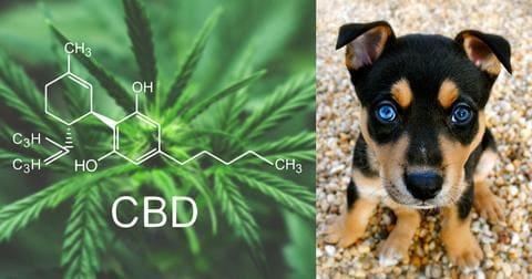 CBD et douleur chez le chien