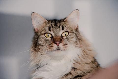 Bienfaits et propriétés du CBD sur les chats