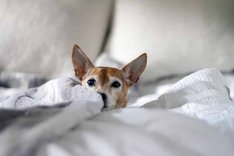 Chihuahua - quels problèmes de santé principaux ?