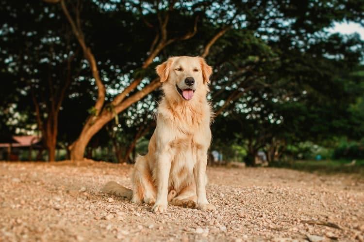 Race de chien la plus fidèle Golden retriever