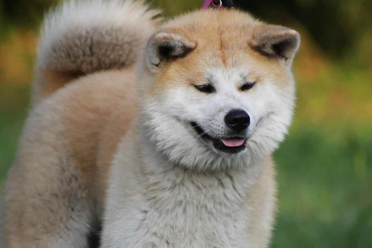 Akita inu le chien le plus fidèle au monde