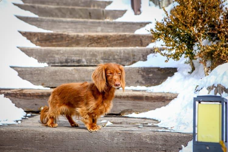 Le teckel est-il une race de chien fidèle et loyal ?