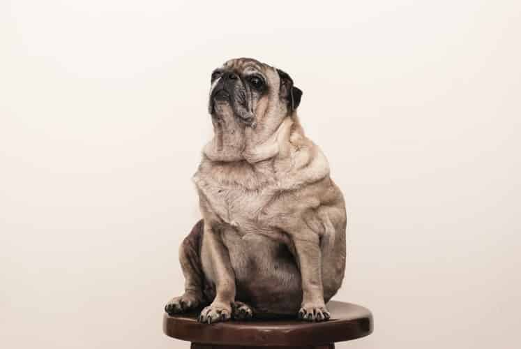 Gros chien : comment adapter son régime alimentaire