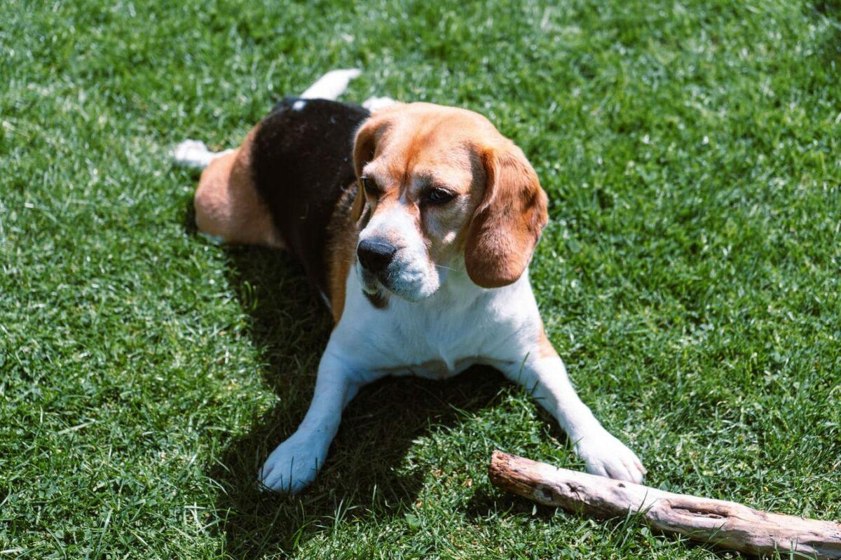 Race de chiens le plus adapté aux familles avec enfant - Beagle