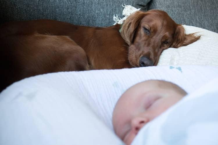 Setter irlandais : meilleur chien pour famille avec bébé