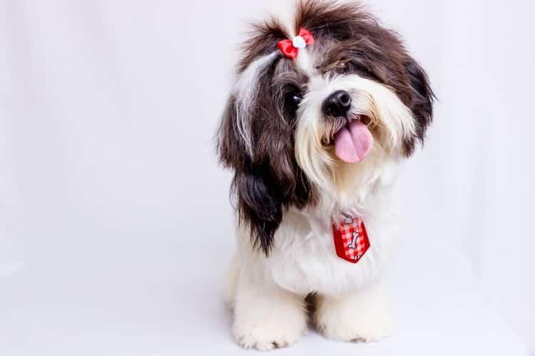 Shih Tzu race de chien famille idéale en appartement