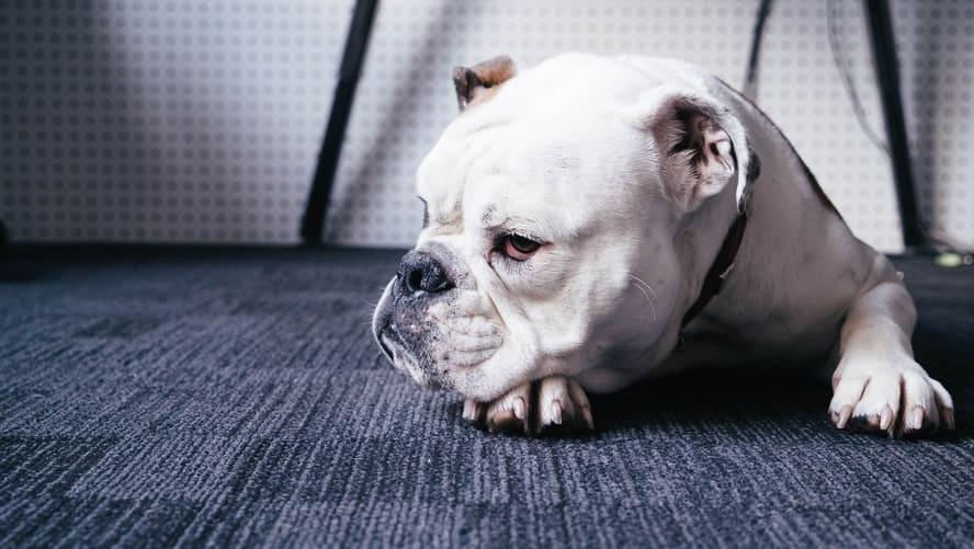 bulldog anglais blanc