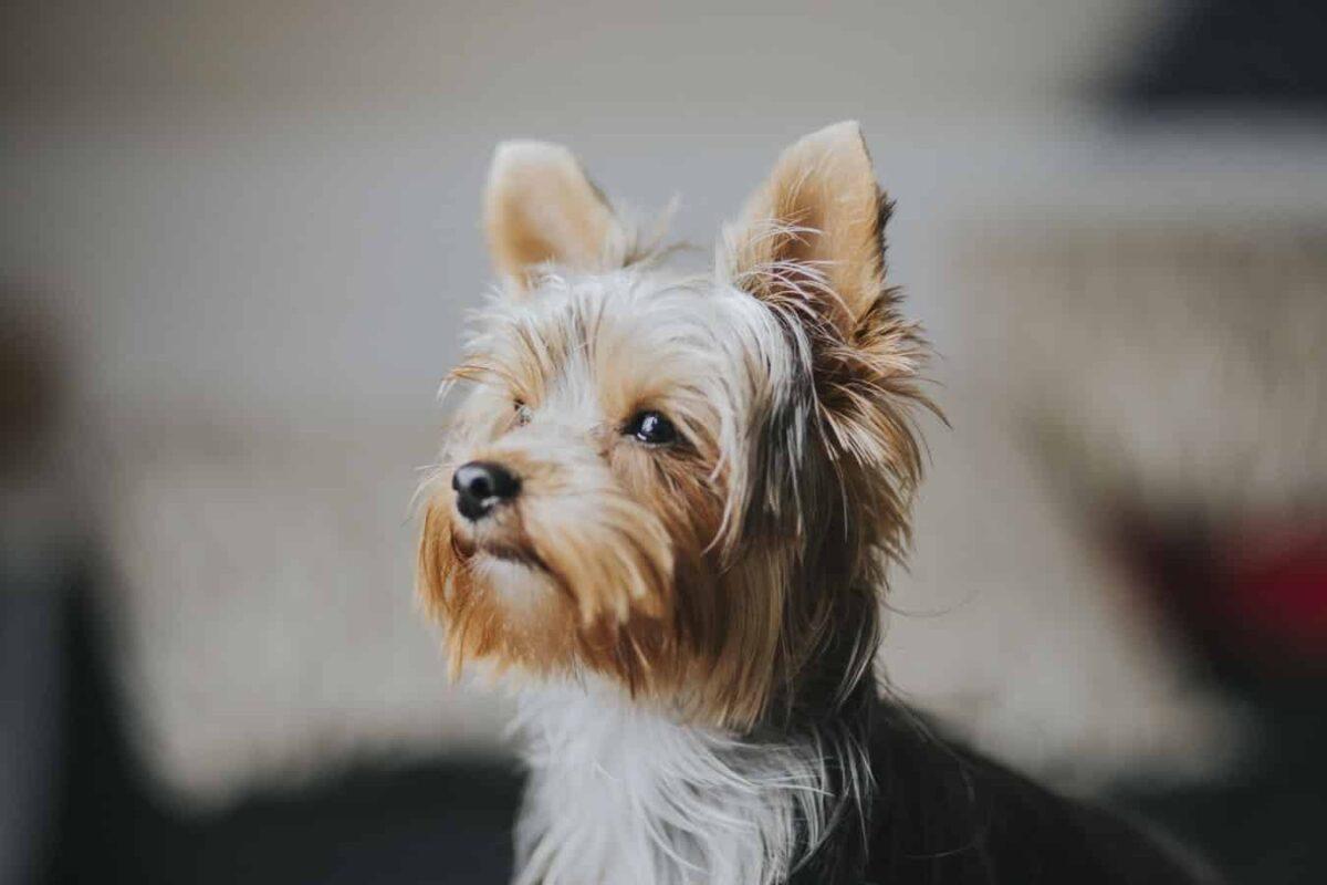 Yorkshire terrier race de chien