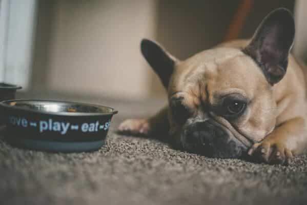 Mon chien est tout le temps affamé raison faim