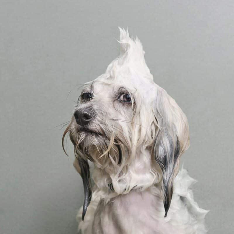 chien qui boude l'heure du bain