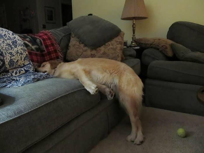 chien qui dort à moitié sur le canapé