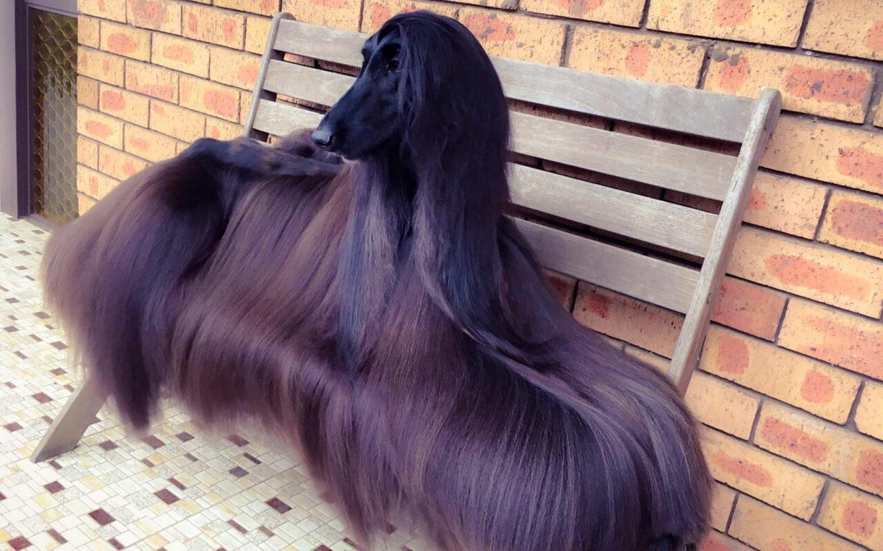 levrier à poils longs