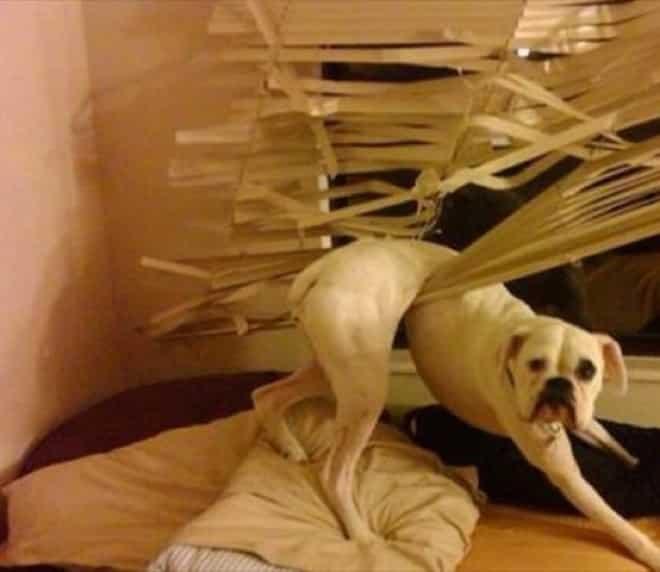 chien drole pris dans rideau