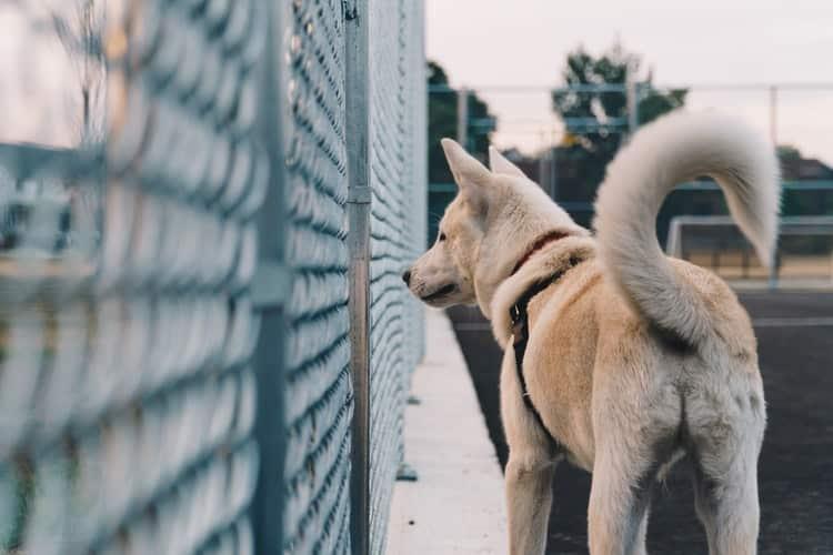 Comportement : signification d'un chien qui remue la queue