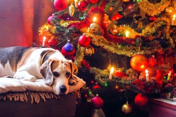 Vos plus beles photos de noel avec votre chien