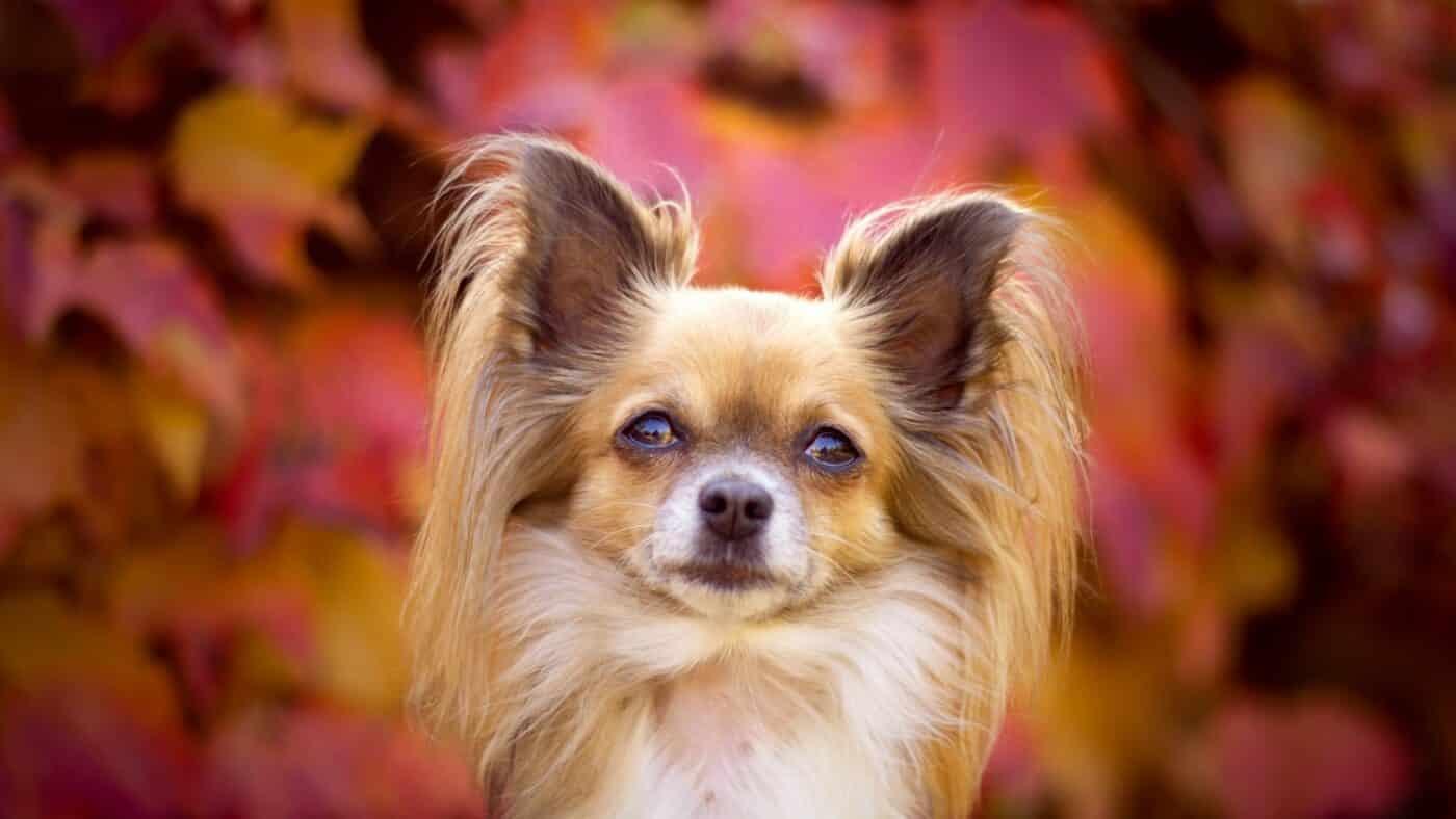 Adopter un petit chien toy nain miniature