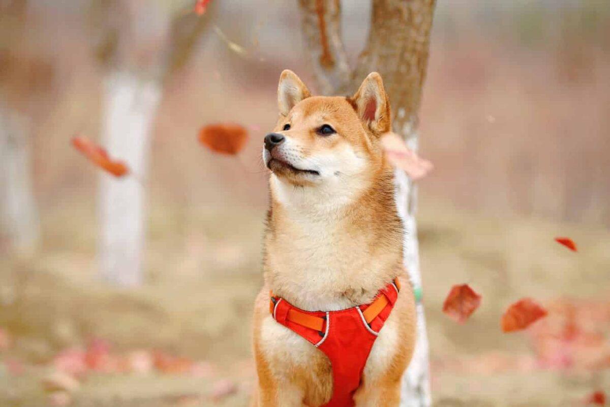 Meilleure race chien japonais