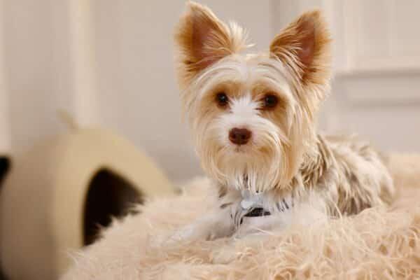 recette naturel pour soulager otite infection oreille chien
