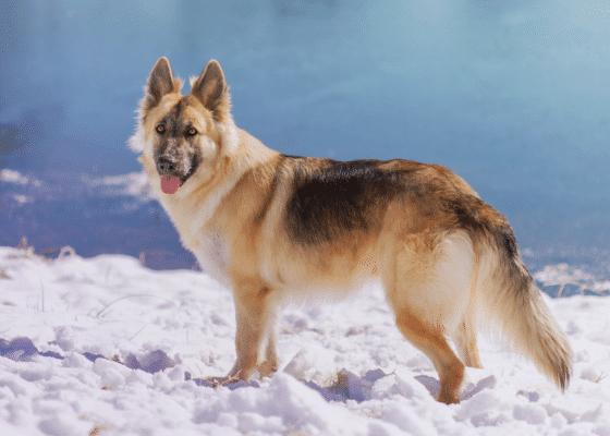 tout savoir sur les chiens de berger