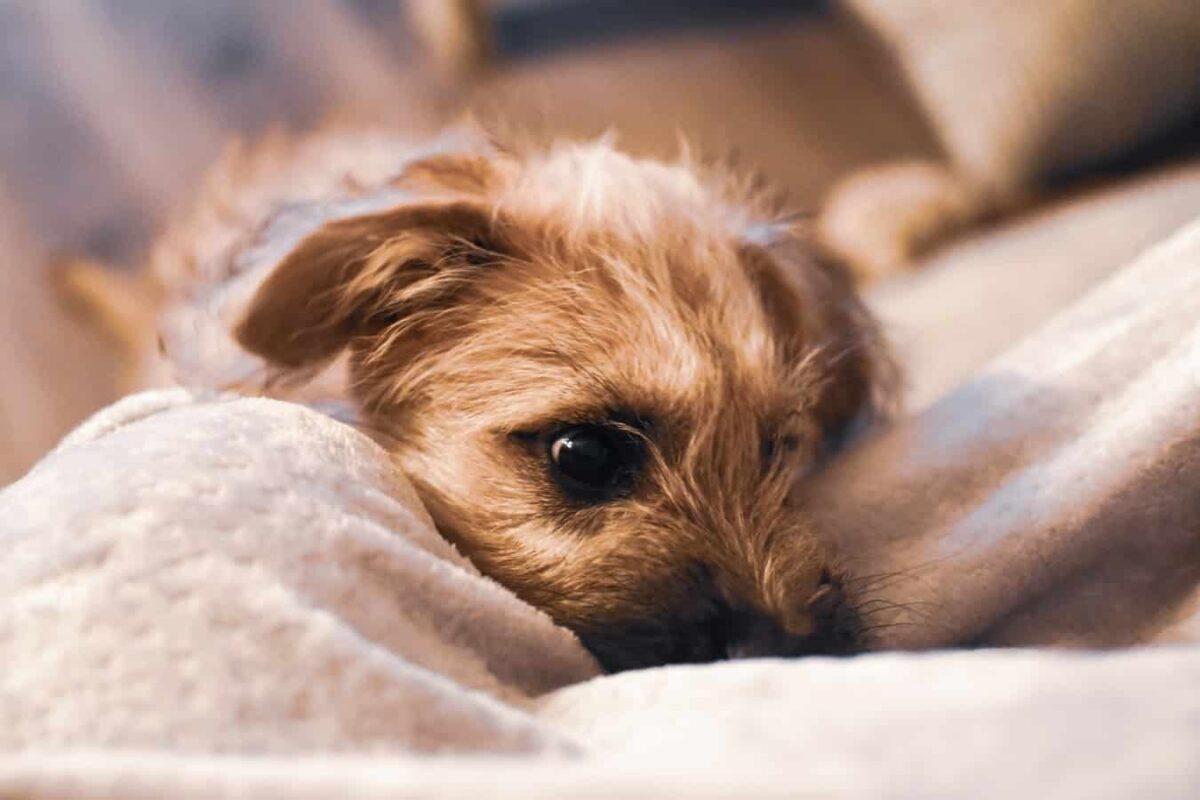 Ventre qui gargouille chez le chien : grave vétérinaire cause