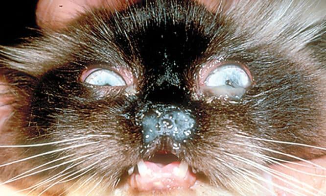 écoulement larmoiement chat conjonctivite