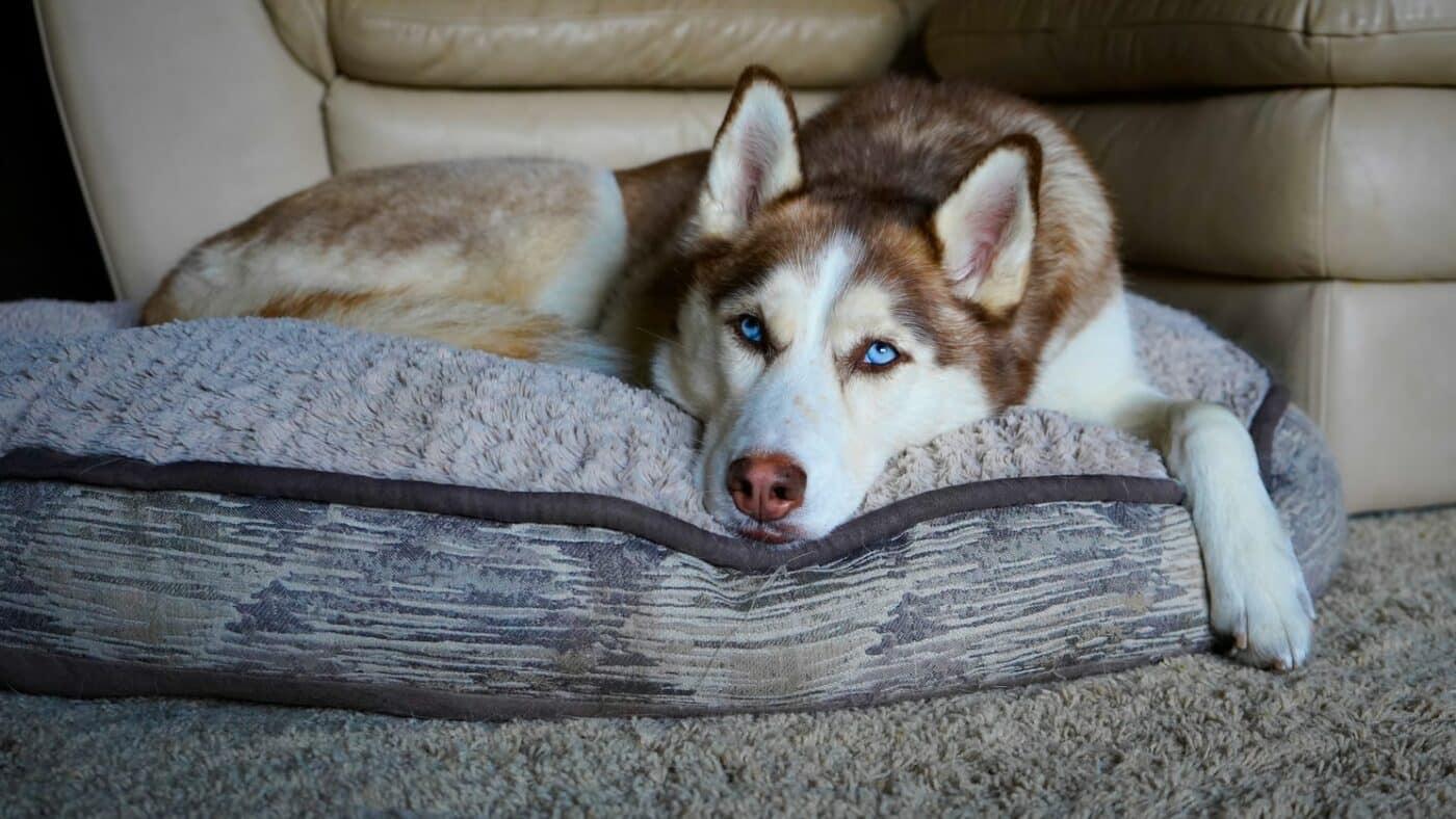 Husky de sibérie Maladies problèmes de santé
