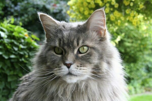 : maine, coon, chat, chats, race, races, caractere, poil, chaton, taille, sante, croquettes, poils, alimentation, prix, animaux, animal, arbre, maine coon, races chats, hill pet, race chat, arbre chat