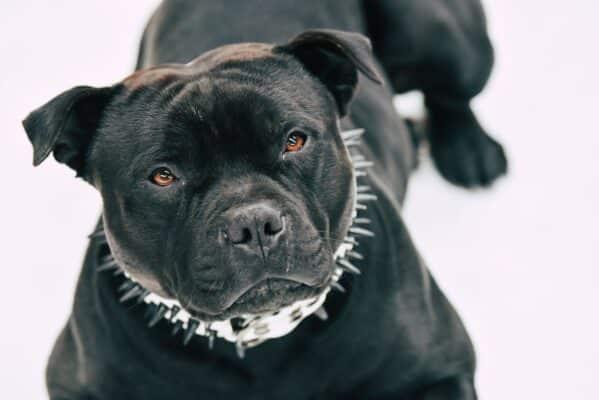 staffie pitbull race de chien dangereux dangereuse