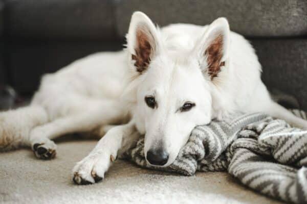 Berger blanc suisse chien race photo
