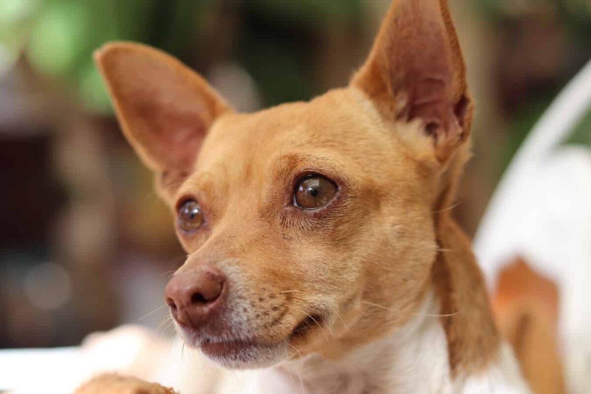 Chihuahua n'arrête pas d'aboyer aboie aboiement