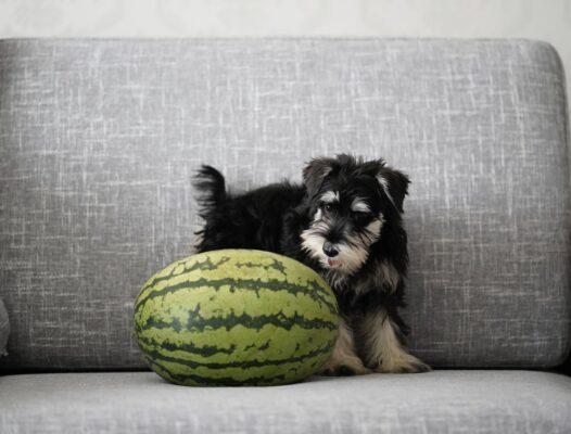 chien pastèque allergie donner manger vétérinaire pépin poison