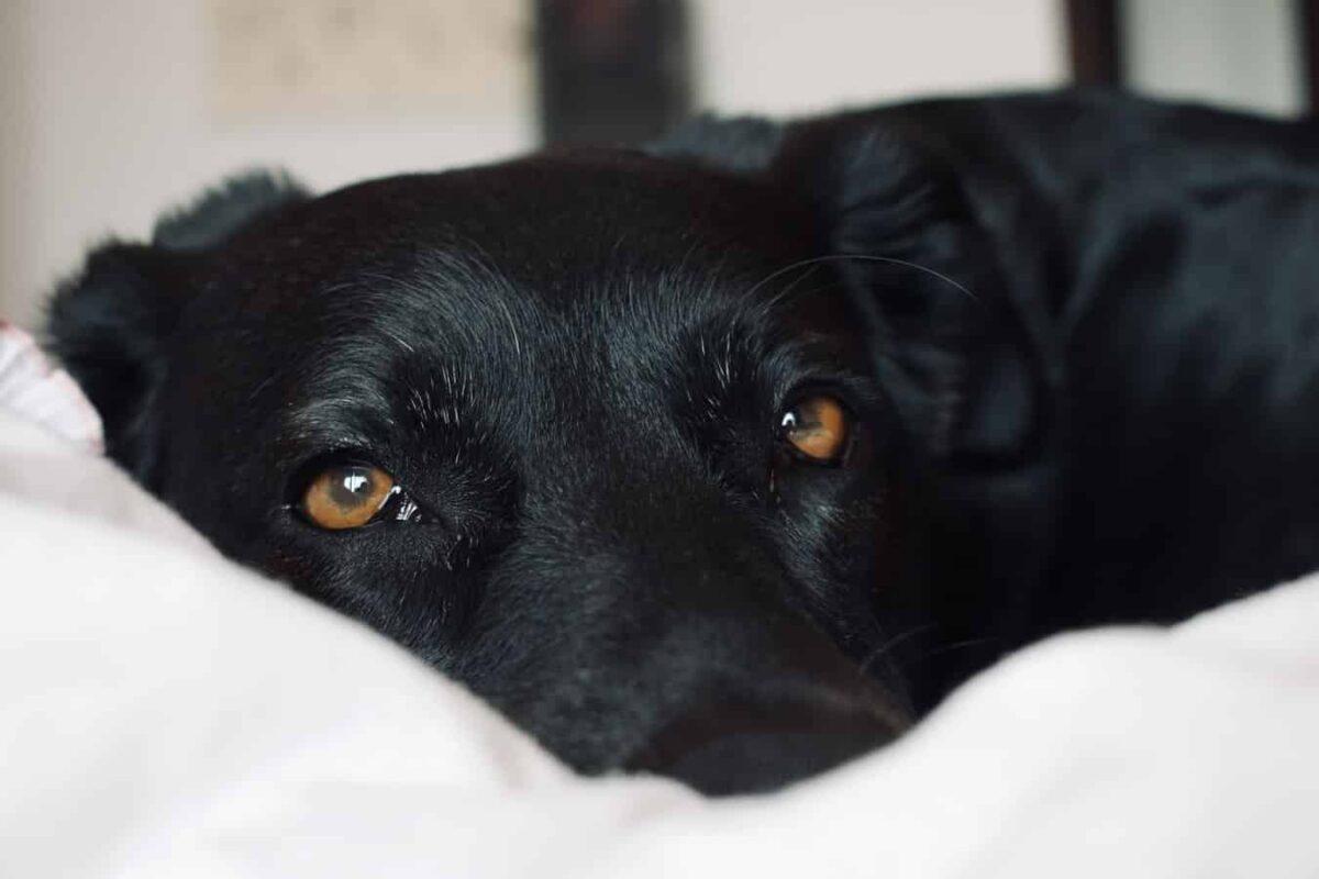 Labrador caractère famille trouble du comportement solution