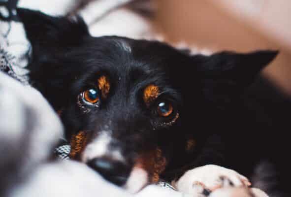 œil qui coule chien causes solution traitement